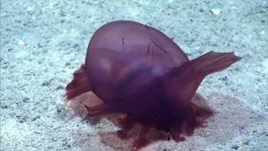 Harvinainen merimakkara löytyi Eteläiseltä jäämereltä