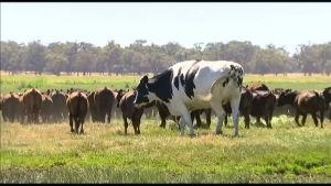 """Onko tässä Australian isoin härkä? 194-senttinen ja 1400-kiloinen """"Knickers"""" on liian iso teurastamoon."""
