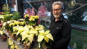 Puutarhaneuvos Arno Kasvi antaa neuvoja joulukukkien hoitoon