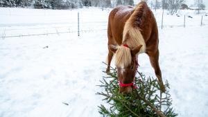 Loppiaisesta alkaa hevosten kuusijuhla – Käytetyt joulukuuset ovat heppojen superfoodia