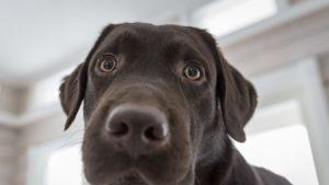 Tällainen on Pertti-koira, humoristinen somejulkkis, jolla on omat Facebook-sivut – siviilissä Pertti etsii kadonneita