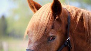 S.A. Uusi-Matti on yksi viimeisistä armeijan hevosista