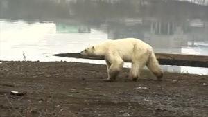 Uupunut jääkarhu vaelsi siperialaiseen kaupunkiin