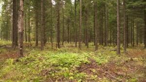 Jatkuva metsänkasvatus - hyvä ja kannattava vaihtoehto avohakkuille