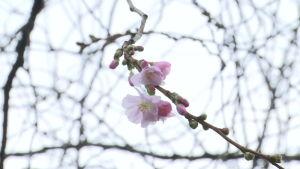 Tammikuun lämpö herättelee kirsikkapuita kukkimaan Tukholmassa