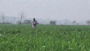 Heinäsirkat valtaavat Pakistanin viljelykset