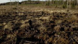 Miksi Metsähallitus hakkaa nuorta metsää?