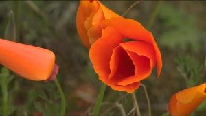 Kukkaloistoa Kaliforniassa
