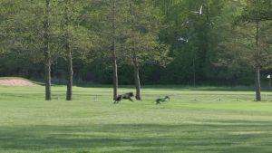 Näin koirat häätävät valkoposkihanhet pois golfkentältä - viidessä viikossa hanhet vähenivät sadoista muutamiin