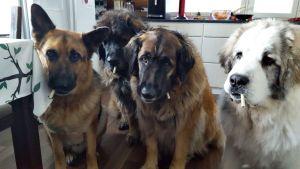 Merja Kyllösen koirat Hukka, Rölli, Fiona ja Pepe.