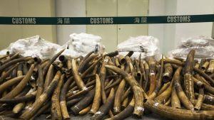 Norsujen syöksyhampaita kasassa, takana Hongkongin tullin eristävä nauha.