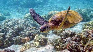Liemikilpikonna ja koralleja