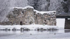 Joutsenia Kajaaninjoella linnanraunioiden edessä.