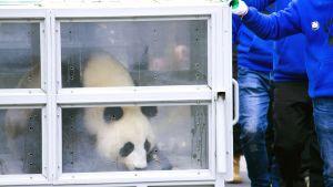 Jin Bao Bao nimistä Pandaa siirretään lentokentälle Kiinan Dujiangyanissa.