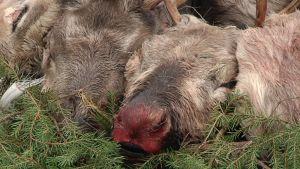 Näivetystautitutkimukseen tarvitaan sairaiden tai itsestään kuolleiden hirvi- ja peuraeläimien päät.