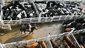 Liniersin markkinat New Chicago -lähiössä Buenos Airesissa on yksi suurimmista argentiinalaisen lihan myyntipaikoista. Karjatilalla on noin sata työntekijää. New Chicago syntyi teurastamon ympärille, ja se sai nimensä yhdysvaltalaiselta kaupungilta, jossa runsas sata vuotta sitten oli kukoistava jääkaappiteollisuus.