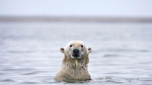 Jääkarhu uimassa Alaskan rannikolla.