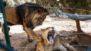 leijonapariskunta