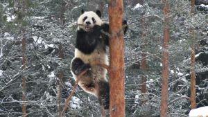 Panda männyssä.