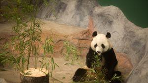 Pyry syö bambua.