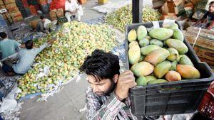 Intialainen mies kantaa mangolaatikkoa  hedelmätorilla Kashmirissa.