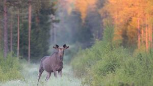Hirvi aamuisessa metsässä