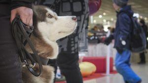 Lemmikki, Husky, ostoskeskus, koira.