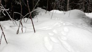 Jäniksen jälkiä lumella.