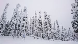 Lumisia puita Paljakassa