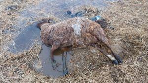 Emolammas oli karitsoinnin jäljiltä elossa, mutta erittäin huonokuntoinen.
