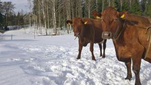 Kaksi lehmää tuijottaa pellolla