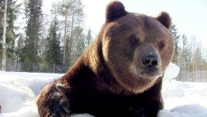Juuso-karhu talviunilta heränneenä.