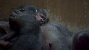 Gorillan poikanen makaa emon vatsan päällä.