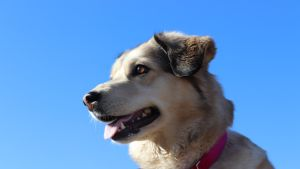 Tinka-koira
