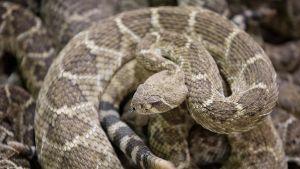 Kalkkarokäärme