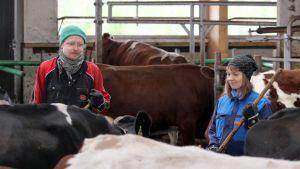 Kangasniemeläiset Tuomas Laitinen ja Maisa Juntunen maitotilansa navetassa lehmien keskellä.