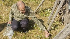 Hannu Kämäräinen ja valkovuokkoja