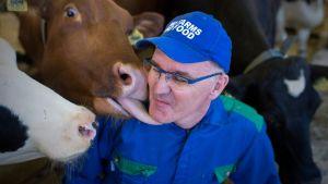 Lehmät tervehtivät Reijo Junnia navetassa.