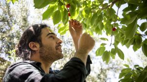 Salih Topuz poimii kirsikan puusta.