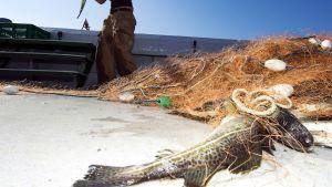Greenpeace takavarikoi 14. syyskuuta Itämerellä kaksi kalastusverkkoa, jotka kuuluvat järjestön mukaan puolalaisaluksille.