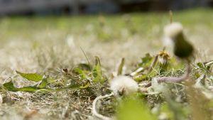 kulottunutta  nurmikkoa
