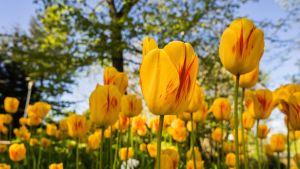 Tulppaaneja kukkapenkissä