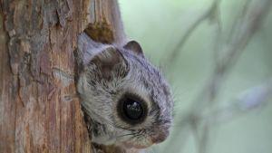 Liito-orava kurkkaamassa pesäkolostaan.