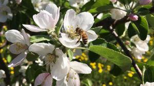 Mehiläinen omenapuun kukassa