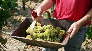 Korissa viinirypäleitä, koria pitelevät kädet joissa myös oksaleikkuri.