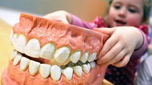 Jättimäisen kokonainen malli hampaista.
