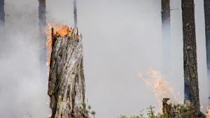Luonnontilaisia paloja on ollut Suomessa monisatakertaisia määriä nykytilanteeseen verratuna.