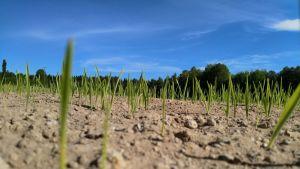 Nurmi kasvaa kuivassa maaperässä
