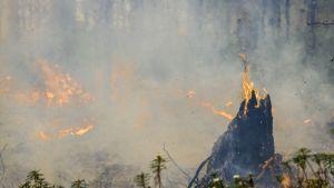 Nykyään tehokas palontorjunta on poistanut laajat metsäpalot Suomen metsistä lähes täysin. Tämän vuoksi palosta riippuvainen lajisto on taantunut. Metsien poltto on tehokas kangasmetsien monimuotoisuuden palauttamis- ja lisäämismenetelmä.