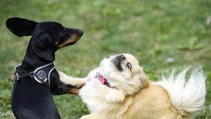Kaksi koiraa leikkii.